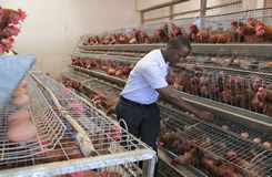 Chicken Egg Cage In Kampala Uganda